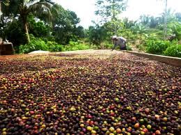 Produção de Café Apui na Amazônia