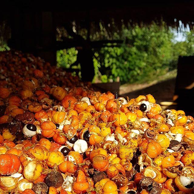 Semente de Guaraná sendo fermentada